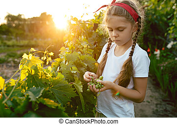 The child girl and grape brunch, work on a family farm