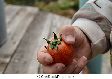 The child holds in his hand a ripe cherry tomatoes, outdoor. Focus on the tomatoes