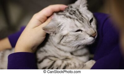 The child strokes a falling asleep gray cat. The cat relaxed. Face of a cat close-up