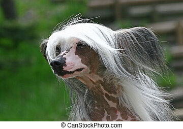 The Chinese Crested Dog is a smaller (10�13 lbs) hairless ...