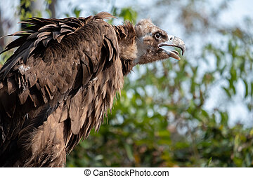 Cinereous Vulture - The Cinereous Vulture is believed to be ...