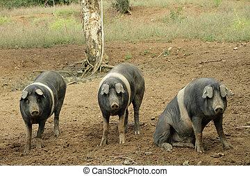 The Cinta senese, very ancient tuscan breed of pig.