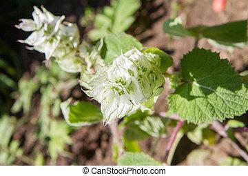 The clary sage (Salvia sclarea)