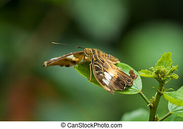 The clipper (parthenos sylvia) butterfly