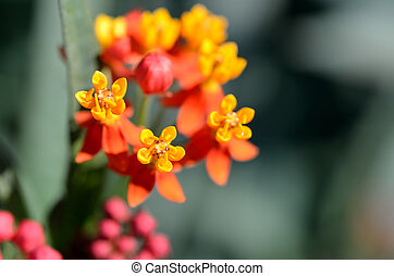 Asclepias curassavica. (Red Butterfly) - The Close-up of...