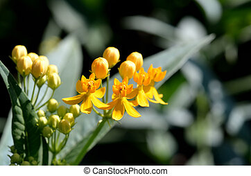 Asclepias curassavica. (Silky Gold) - The Close-up of...