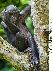The close-up portrait of juvenile Bonobo ( Pan paniscus) on the tree in natural habitat. Green natural background.