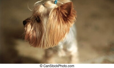 The close-up portrait of the cute little Yorkshire terrier....
