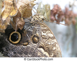 butterfly (caligo memnon) - the close-up view of butterfly (...