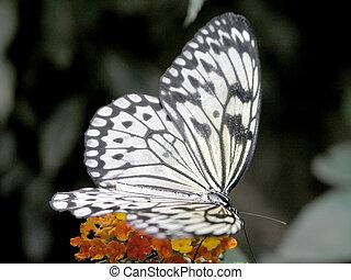 butterfly (idea leuconoe)