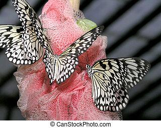 butterflies (idea leuconoe)