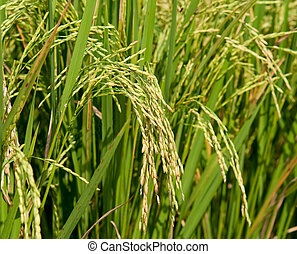 The Closeup of rice growing on the plant showing fine hair on the husk of the rice grains