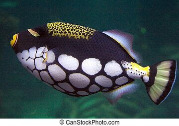 The clown triggerfish, Balistoides conspicillum, is a...