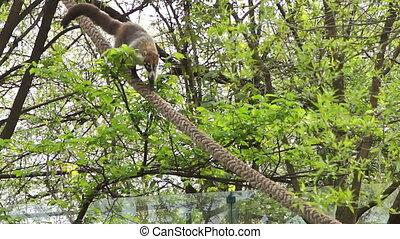 The coati, nasua nasua, descends the rope slowly - The coati...
