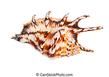 the cockleshell is isolated on a white background