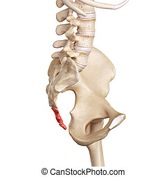 The cocycx - medical accurate illustration of the cocycx