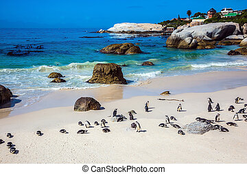 The colony of black- white African penguins