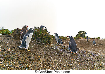 The colony of penguins on the island in the Beagle Canal. Argentine Patagonia. Ushuaia