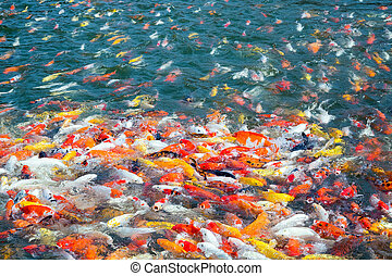 The color of the beautiful carp swimming in the pond.