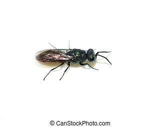 The colorful common Chrysis angustula garden cuckoo wasp on white background
