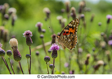 The comma (Polygonia c-album) butterfly on thistle flowers