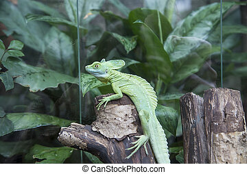 The common basilisk (Basiliscus basiliscus) is a species of lizard in the family Corytophanidae