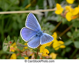 The common blue butterfly Polyommatus icarus sitting on a Birdsfoot-trefoil flower
