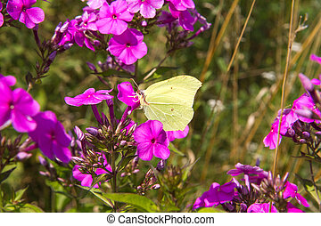 The common brimstone butterfly - Gonepteryx rhamni (known as...