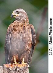 The common buzzard Buteo buteo bird of prey sits on branch ...