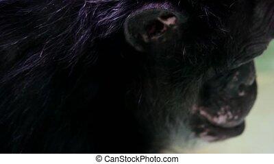 The common chimpanzee Pan troglodytes , also known as the...