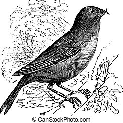 The Common Crossbill or Loxia curvirostra. Vintage engraving.