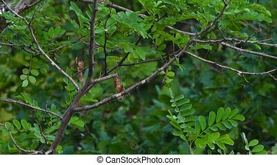 The common cuckoo (Cuculus canorus) flies from the tree branch