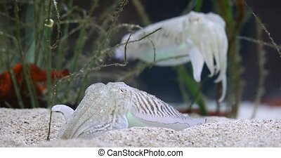 The Common Cuttlefish in clean water closeup footage