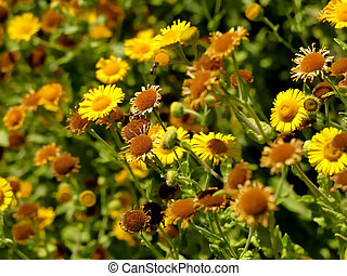 the common fleabane, medicinal herb with flower in summer