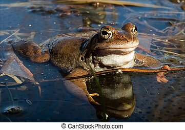 The Common Frog. - The Common Frog sitting in water and ...