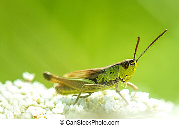 The common grasshopper in a meadow