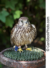 The Common kestrel (Falco tinnunculus) - Portrait of a ...