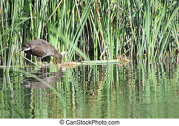 The common moorhen in the reeds reflected in water - The ...