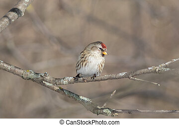 The Common redpoll on the branch in winter