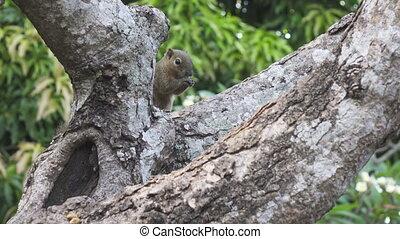 The common treeshrew eats nuts sitting on a tree,