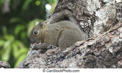 The common treeshrew eats nuts sitting on a tree