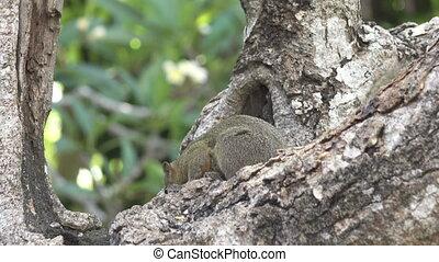 The common treeshrew eats nuts sitting on a tree.