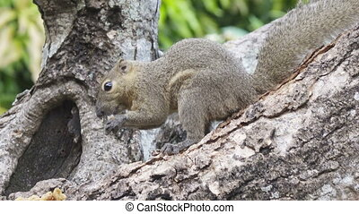The common treeshrew eats nuts sitting on a tree,