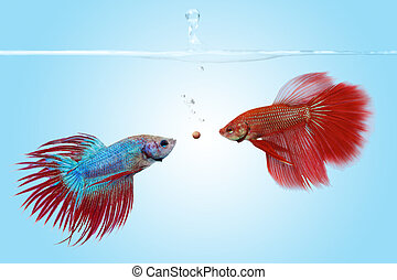 The competition - Two betta fishes competing for a food...