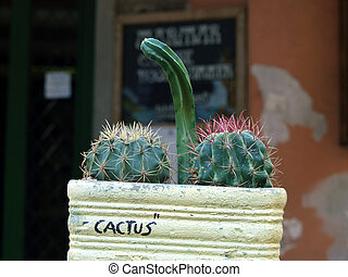 The composition of cacti - frivolous joke gardener