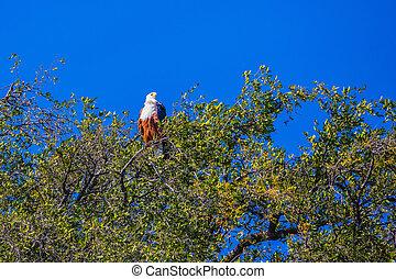 Big african fish eagle