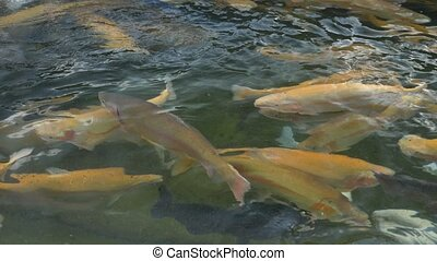The concept of fish farming. close-up. a lot of gold, white and blue trout splashing in the water while feeding.
