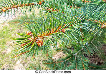 Close-up of a branch of a pine.