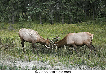 The conflict between two deers. - Two deers struggle on a...