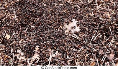 The construction of new big ant hill in the woods. A lot of ants close-up.